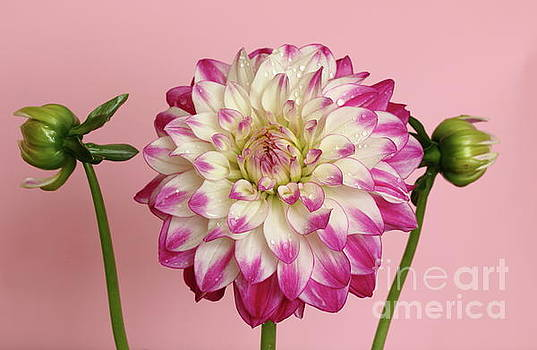 Dahlia pink background by Peter Skelton