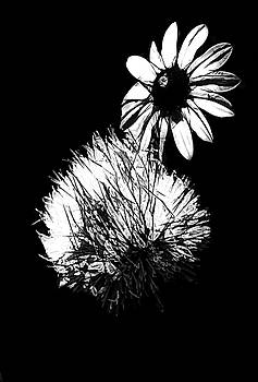 Daisy and Thistle Black and White by Rosalie Scanlon