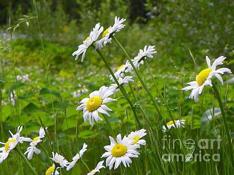 Daisy Flowers Revelstoke National Park British Columbia Canada by Art Sandi