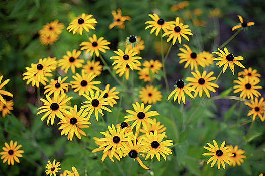 Black-eyed Susans by John Daly