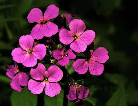 Dame's Rocket Wildflowers  by Lori Frisch