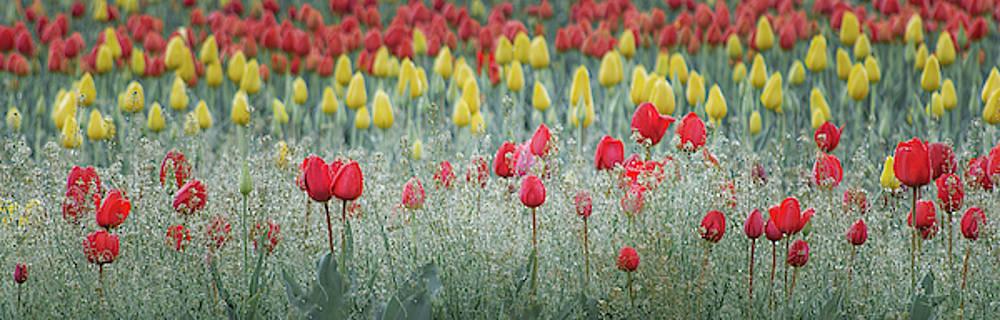 Dancing Tulips by Don Schwartz