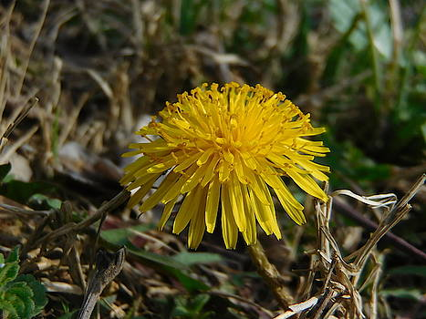 Dandelion in the Sun by Abagail Wells