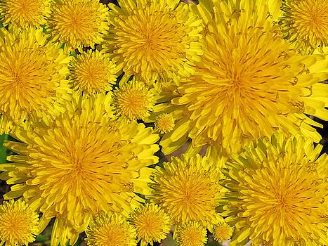 Dandelions by Mandy Byrd