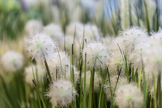Dandelions by Sergey Simanovsky