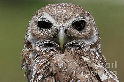 Dark Eyed Burrowing Owl by Meg Rousher
