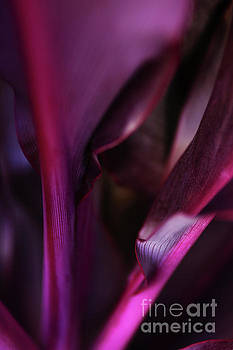 Dark Purple Ti Plant by Charmian Vistaunet