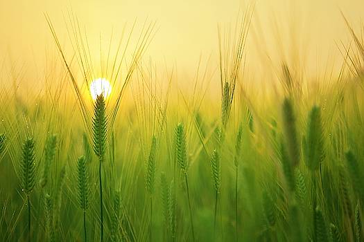Dawn at the wheat field by Top Wallpapers