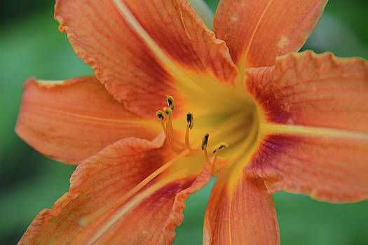 Whispering Peaks Photography - Day Lily Up Close
