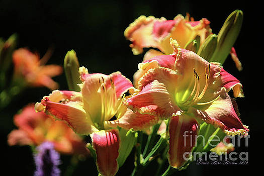 Daylily In Black No.2 by Laura Birr Brown