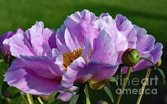 Cindy Treger - Dazzling Bowl of Beauty Peonies