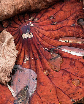 Dead Water Lily Pad Leaf by Lu Prescott