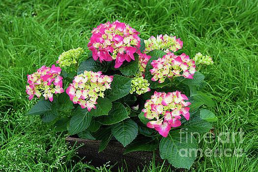 Decorative Floral Pink Hydrangeas C031619 by Mas Art Studio