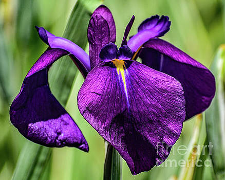 Deep Purple Japanese Iris  by Cindy Treger