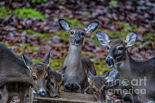 Deer Gathering by Buddy Morrison