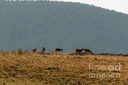 Steve Krull - Deer Herd on a Warm Colorado Spring Morning