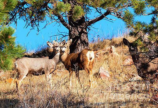 Deer Herd on Mountain by Steve Krull