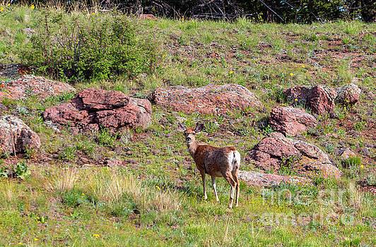 Deer in the Rockies by Steve Krull