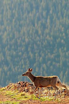 Steve Krull - Deer on a Warm Colorado Spring Morning