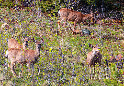 Deer on the Rocky Mountain Hillside by Steve Krull