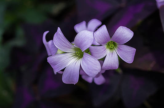 Delicate Beauty by Linda Howes