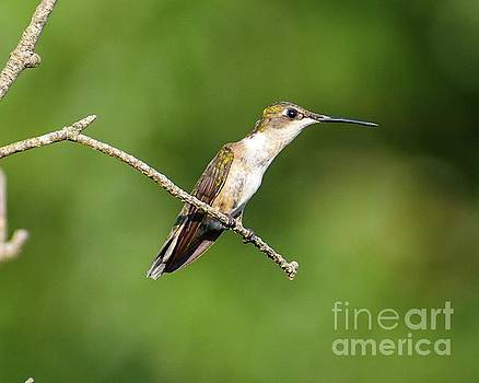 Cindy Treger - Delicate Female Ruby-throated Hummingbird
