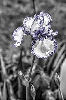 Delicate Iris by Andrea Swiedler