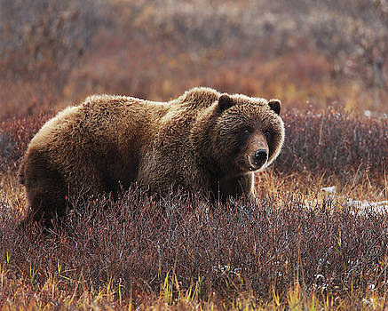 Denali Grizzly Bear by Fred Hood