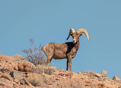 Loree Johnson - Desert Bighorn