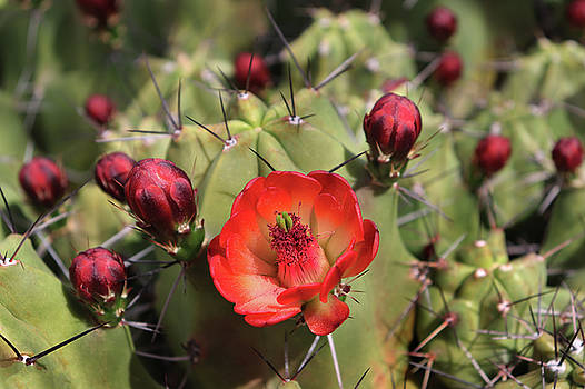 Desert Flowering Cactus by David T Wilkinson