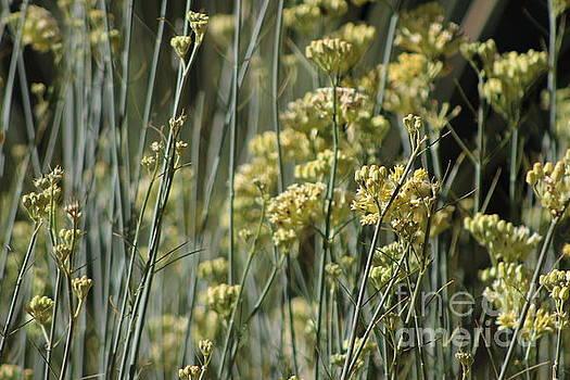 Desert Milkweed Sunnyland Estates Rancho Mirage California by Colleen Cornelius