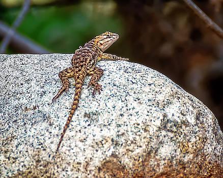 Desert Spiny Lizard h1806 by Mark Myhaver