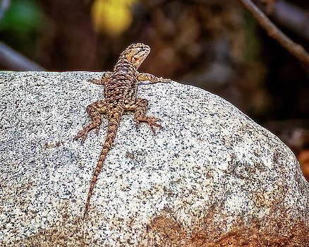 Desert Spiny Lizard h1809 by Mark Myhaver