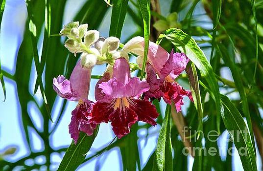 Desert Willow Blossoms by Craig Wood