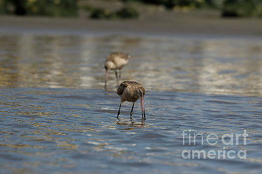 Determined Godwit by P W