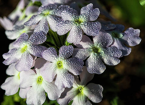 Dew Bejeweled Pink Verbena Blossoms by Kathy Clark