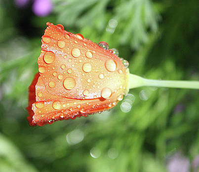 Dewy Orange Wildflower  by Deborah Kinisky