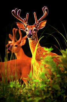 Whitetail Bucks in Velvet by Rick Grisolano Photography LLC