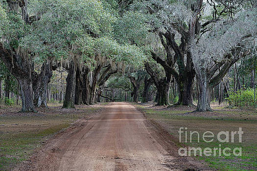 Dirt Road Avenue of Oaks by Dale Powell