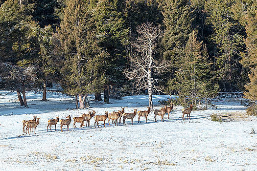 Steve Krull - Distant Winter Elk Herd