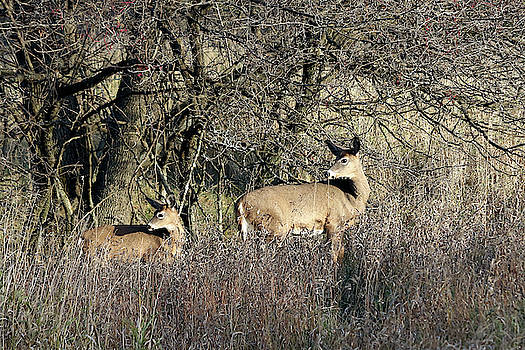 Doe And Fawn by Doris Potter