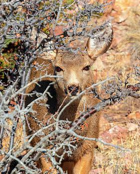 Doe Mule Deer in the Morning by Steve Krull