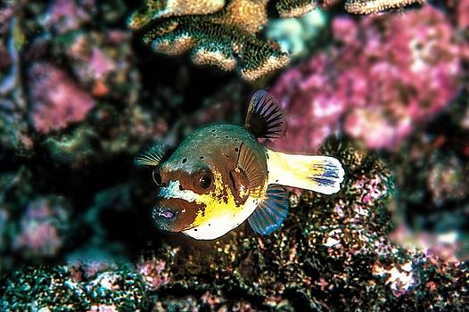Dogfaced Puffer Fish by Christina Ford