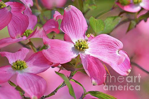 Regina Geoghan - Dogwood Blossoms in Pink