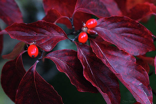 Dogwood Leaves in the Fall by Trina Ansel