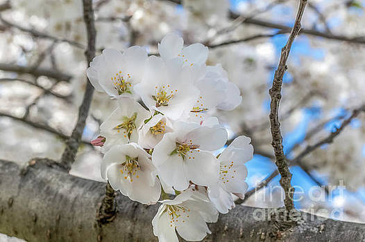 Dogwoods 0505a by Howard Roberts