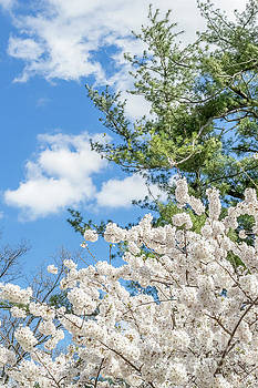 Dogwoods 0505E by Howard Roberts