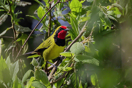 Doherty's Bushshrike by Thomas Kallmeyer