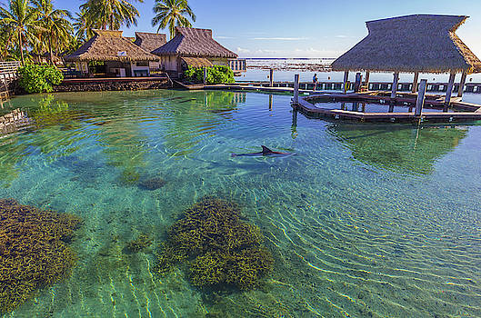 Dolphin in Mo'orea French Polynesia by Scott McGuire
