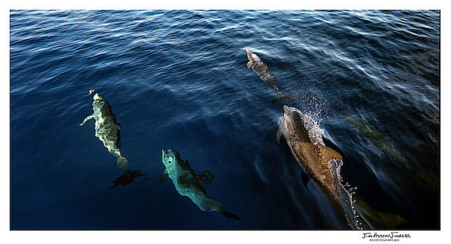Dolphins Delightful by Jim Austin Jimages
